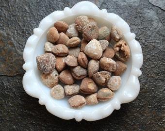 Brach's Shell Fossil