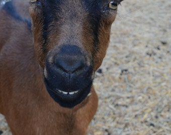 Happy Goat has a natural smile