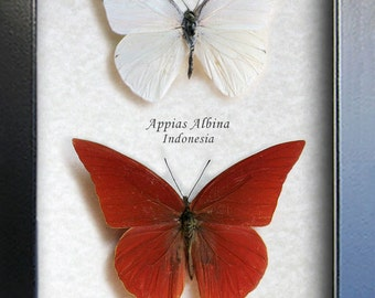 White and Red Albatross Appias Real Butterflies In Shadowbox