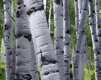 Aspen Trees Colorado Green Gray Aspen Forest Summer Rustic Cabin Lodge Photograph