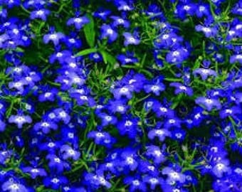 Lobelia Seeds, Lobelia Erinus Mrs. Clibran, Purple-Blue and White Colored Flowers, Part Sun - Shade Plant, Groundcover Plant