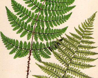 Antique FERN Print 1908 Heath Botanical Chromolithograph BROAD BUCKLER Fern etc