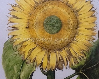 Sunflowers Art Print Vintage Lithograph Botanical Home Office Kitchen Wall Decor Basilius Besler Flower Color Book Plate Common Sunflower