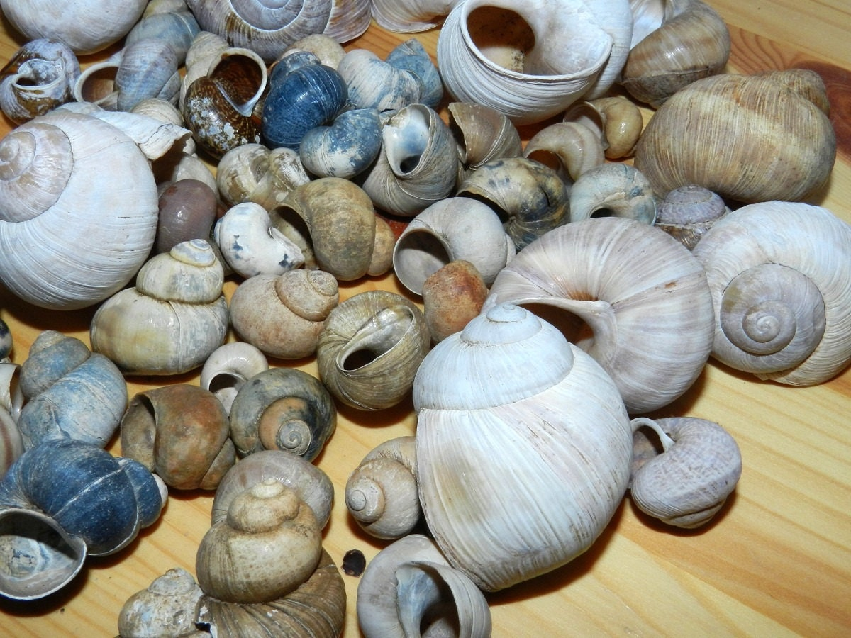 50pcs snail shells for home decor for craft projects for Shells decorations home