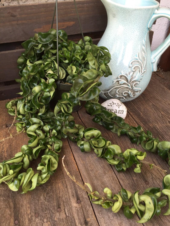 Discontinued Ikea Products List Indian Rope Plant Hindu Rope Plant Crispa Hoya Carnosa 6