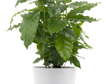 Coffee Arabica in 4'' pot - live plant. Grow your own coffee beans!