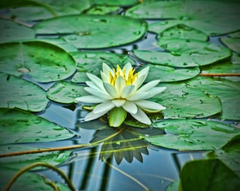 Water Lily - Photographic Print on Glossy Paper or Vibrant Metal - Contemporary Fine Art Photography