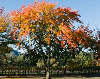 Fall Tree Photograph, Autumn Tree Picture, Nature Photography, Landscape Photography, Fall Colors, Fall Home Decor, Fine Art Photography