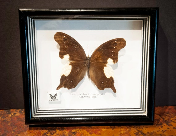 Genuine Malayan Owl Butterfly in Framed Shadowbox