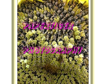 Sunflower Seeds Poster Print