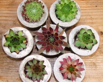 30 primitive succulent favors, boho wedding planters, on trend succulent favors, lake district favours, concrete planters, baby planters