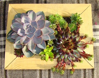 Succulent Living Picture Vertical Garden Living Art Vertical Planter with Established Succulents. Living Frame Vertical Succulents UK Kendal