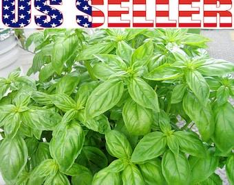 200+ ORGANIC Giant Large Leaf Basil Seeds Heirloom Italian NON-GMO Fragrant