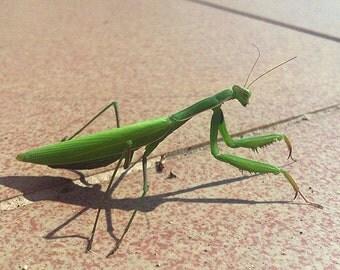 Mantis Bug Photo Print
