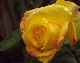 Rose, Yellow, Nature, Photography, Print