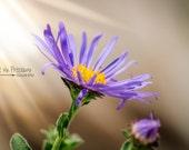 Art Print,Vintage Art,Home Decor,Nursery Print,8x10,5x7,Modern Art,Flower Photograph,Nature Photograph,Purple,Yellow,Flower,UNFRAMED,Antique