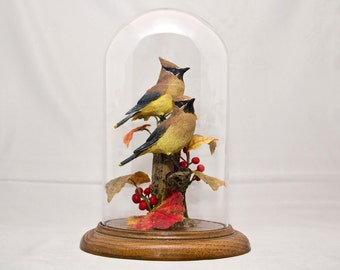 "Beautiful Cedar Waxwings sculpture in 8"" crystal dome"