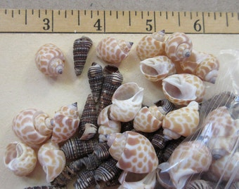 165 Sea Shells 2 Types Mix For Mosaics Crafting Sailors Valentines  Bulk Wholesale