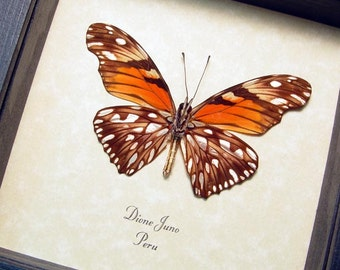 Dione Juno Orange Real Framed Butterfly with Metallic Silver Spots 335