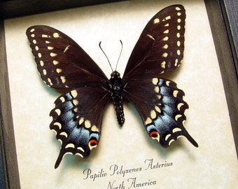Real Female Papilio Polyxenes Asterius Eastern Black Swallowtail Butterfly 8314F