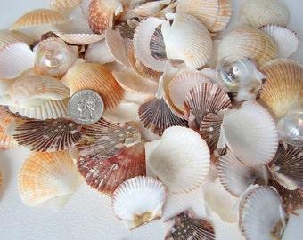 Beach Decor Sea Shells - Nautical Decor Seashells - Scallop Shells Assortment - Beach Wedding Shells - Beach House Decor - 24 PC