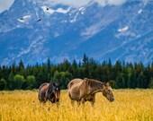Two Horses in Pasture Grand Teton Nationl Park Photo Wyoming Photograph Wall Art Home Decor Fine Art Print ani9