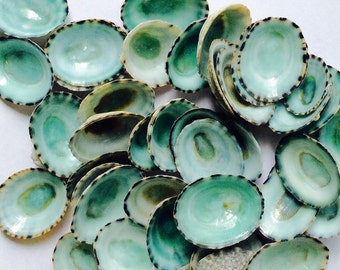 "Beach Decor - 25 Limpet Shells - 1/2"" - 3/4"""