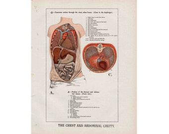 1910 HUMAN ANATOMY abdomen & chest original antique anatomy print