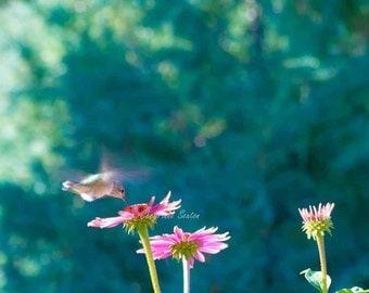 Teal Blue Green Hummingbird Photography Print Flying Over Purple Echinacea Flower Garden Purple dark-green giclee 8x12 Print