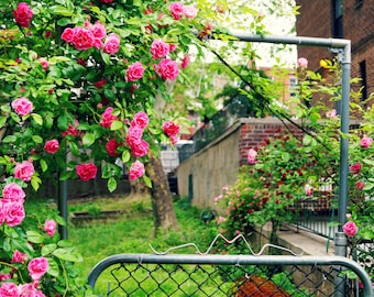 Peonies Blossoming on the Gate, Flower Photography Print, Floral Print, Queens New York Photography,