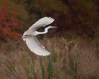 Fall Egret in Flight