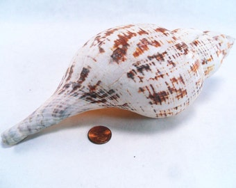 Tulip Sea Shell for Nautical Decor Vintage 60s
