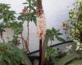 Eucomis 'Sparkling Burgundy' (Pineapple Lily)