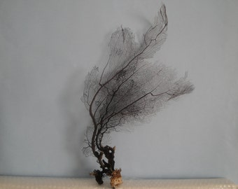 "11.2"" x 19.4"" Natural Black Color Caribbean Sea Fan Reef Coral"