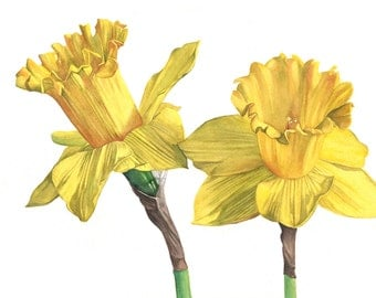 Daffodil print of watercolour painting A3 size largest print D4815