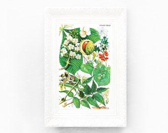 4x7 Vintage Chestnut Tree Botanical Print. Encyclopedia Illustration. Green Brown Wildflower British Educational Learning flower botBE