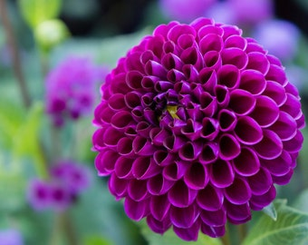 Dahlia Photo, Nature Photography, Dahlia Photograph, Floral wall decor, Purple Flower, Flower photography. Flower Print, Floral photo