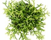 Rhipsalis cereuscula Succulent Plant- Drought Tolerant, Great for Hanging Baskets