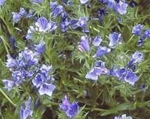 17000 Seeds 100 grams Tree Echium plantagineum Vipers Bugloss Biennial Exotic Blue Garden Flowers Seed Wholesale B0015(1)