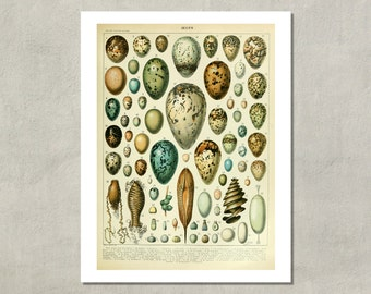 Oeufs (Eggs) Naturalist Print, 1907 - 8.5x11 Reproduction French Dictionary Color Plate - also available in 11x14 13x19