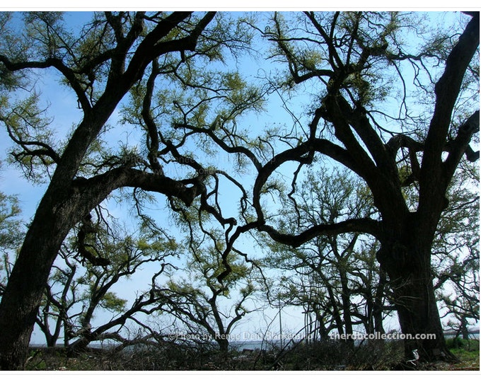 Oak Trees in the Aftermath Photograph