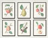 Vintage Fruit Print Set No. 1 - Botanical Print - Giclee Canvas Art Print - Antique Botanical Prints - Posters - Multiple Sizes Available