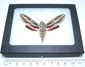 Real framed Arizona white lined sphinx moth framed butterfly insect