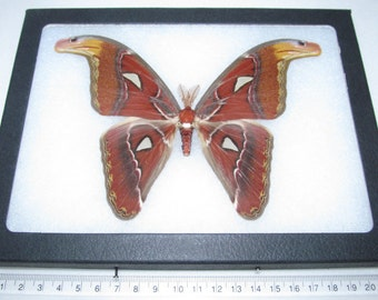 Real indonesian atlas moth male framed butterfly insect