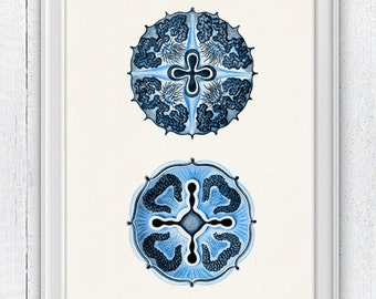 Jellyfish from the bottom Discomedusae in blue - sea life print- Haeckel sea life illustration A4 print SPOJ015