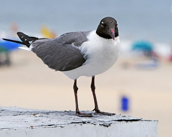 Laughing Gull, Nature Photography, Seagull, Beach, Ocean, Animal Photography, Birds, Fine Art, Avian, Feathers