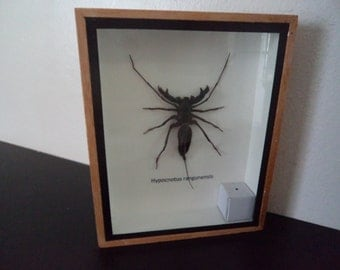 Taxidermy Real Water Scorpion Hypocnotus Rangunensis Boxed Insect Display Entomology Zoology Bugs Insect