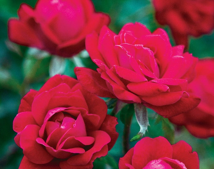 Double Knock Out ® Rose Bush - Hardy Reblooming Cherry Red Rose  Low Maintenance Potted In 4 Inch Container Own Root Rose - Spring Shipping