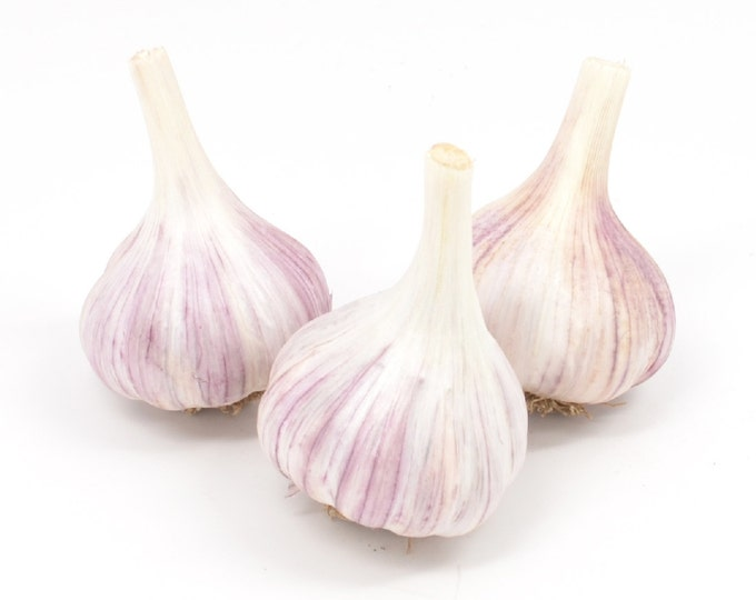 Chesnok Red Garlic Bulbs Organic Grown Gourmet - 3 Bulbs Garlic Seed For Planting or Cooking Fall Shipping