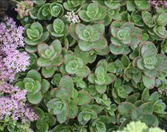Sedum Sunsparkler 'Lime Zinger' - stonecrop